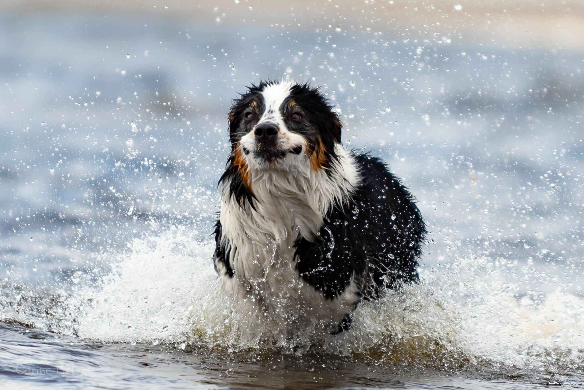 Hondenportretten | Carine Belzon Fotografie